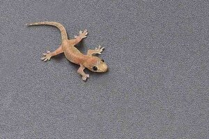 Common gecko found in Okinawa