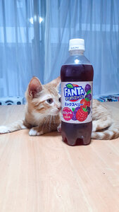 Ginger the cat giving Fanta – Mixed Berry Soda the sniff test