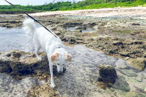 My Dog Marron at the beach in Itoman, Okinawa tide-pooling