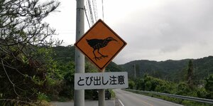 Watch out for the Okinawa rail while on the roads near Cape Hedo
