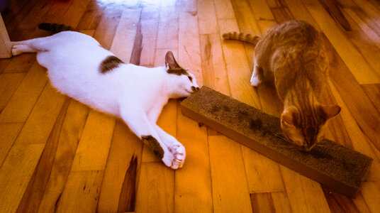 Mickey (left) & Ginger (right) enjoying matatabi/silvervine together