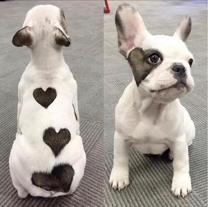 french bulldog 2.jpg