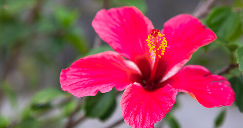 Lonely Hibiscus