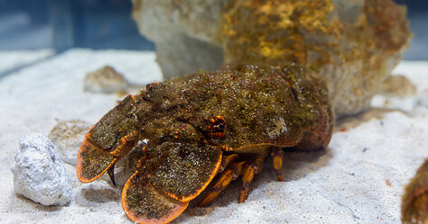 DMM Kariyushi Aquarium — Slipper Lobster