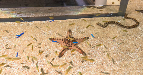 DMM Kariyushi Aquarium — Horned Sea Star (2)