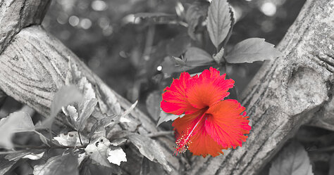 Hibiscus (Selective Color)
